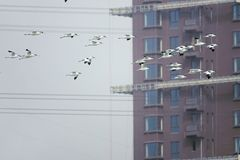 Pied Avocet. A group of Pied Avocet are flying in front of modern building. Scientific name: Recurvirostra avosetta Royalty Free Stock Images