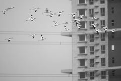 Pied Avocet. A group of Pied Avocet are flying in front of modern building. Scientific name: Recurvirostra avosetta Royalty Free Stock Image