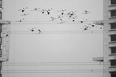 Pied Avocet. A group of Pied Avocet are flying in front of modern buildings. Scientific name: Recurvirostra avosetta Stock Photography
