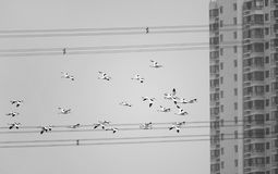 Pied Avocet. A group of Pied Avocet are flying in front of modern buildings. Scientific name: Recurvirostra avosetta Royalty Free Stock Image