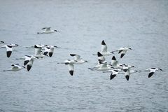 Pied Avocet. A group of Pied Avocet are flying inriver. Scientific name: Recurvirostra avosetta Stock Photography