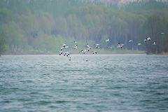 Pied Avocet. A group of Pied Avocet are flying inriver. Scientific name: Recurvirostra avosetta Stock Image