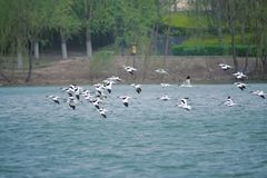 Flying Pied Avocet. A group of Pied Avocet are flying in river. Scientific name: Recurvirostra avosetta Royalty Free Stock Photos