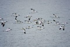 Flying Pied Avocet Royalty Free Stock Image