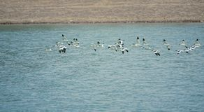 Pied Avocet. A group of Pied Avocet are flying in river. Scientific name: Recurvirostra avosetta Royalty Free Stock Photo