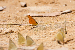 Group of pieridae butterfly Royalty Free Stock Photography