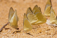 Group of pieridae butterfly gathering water Royalty Free Stock Images