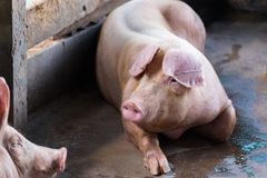 Group of pig sleeping eating in the farm. Stock Images