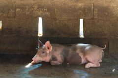 Group of pig sleeping eating in the farm. Stock Photo