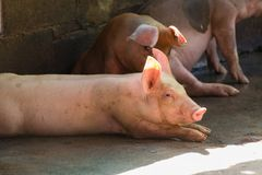 Group of pig sleeping eating in the farm. Royalty Free Stock Images