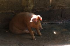 Group of pig sleeping eating in the farm. Royalty Free Stock Photos