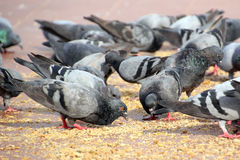 Group of pigeon Royalty Free Stock Photo