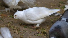 Pigeon eating grains royalty free stock images