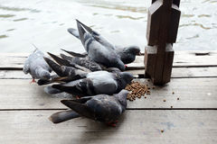 Group of pigeon eating. Stock Photo