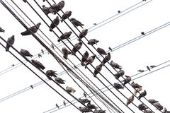 Group of pigeon on an electric wire isolated on white Royalty Free Stock Photo