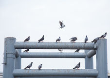 Group of pigeon stock photo