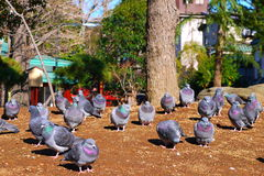 Group of pigeon resting on the sandy Tokyo, Japan Royalty Free Stock Photography