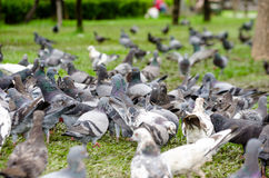 Group pigeon Royalty Free Stock Photo