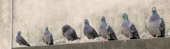 Group of Pigeon sitting. On the wall Stock Images