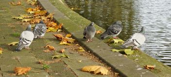 Group pigeons Royalty Free Stock Photos