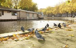 Group pigeons Stock Photos