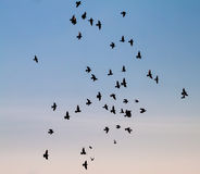 Group of pigeons. Royalty Free Stock Image