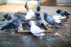 Group of pigeons bathing royalty free stock images