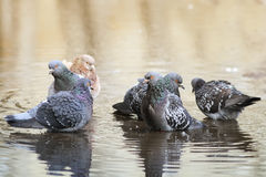 A group of pigeons bathing Royalty Free Stock Photos