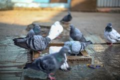 Group of pigeons bathing royalty free stock photos