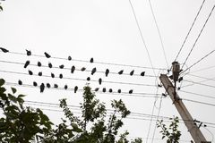 Pigeons resting on electrical wire with tree top Royalty Free Stock Photo