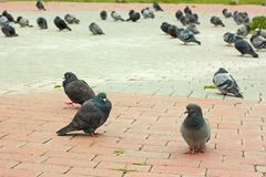 Group of pigeons on city sidewalk tiles Royalty Free Stock Photo