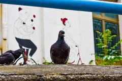 Crowd of pigeon on the walking street.Pigeons on the street. royalty free stock image