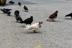Crowd of pigeon on the walking street.Pigeons on the street. stock photo