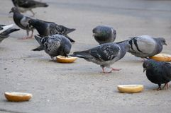 A Group of Pigeons Eating Bagels on the Sidewalk of Philadelphia stock images