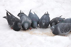 Group of pigeons eats