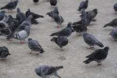 Group of pigeons Royalty Free Stock Photos