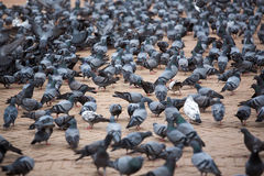 A group of pigeons in Kathmandu Stock Image