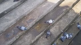Group of  pigeons living on the riverside. Pigeons living on the riverside stock footage