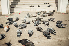 A group of pigeons pecking at some seed on the. Asphalt near weddimg ceremony royalty free stock photography
