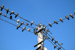 A group of pigeons perched on a power lines Stock Photography