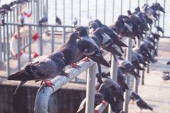 Group of pigeons on the pier along the river Stock Image