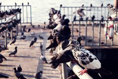 Group of pigeons on the pier along the river Stock Images