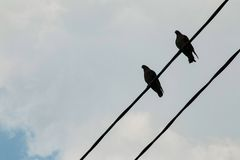 A group of pigeons on a power line. Stock Image