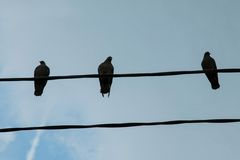 A group of pigeons on a power line. Stock Photography