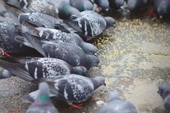 Group of pigeons sharing their feed. Group of pigeons sharing their millet Stock Images