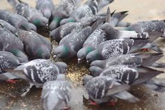 Group of pigeons sharing their feed Royalty Free Stock Image