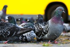 Group of pigeons columba livia domestica sitting on the ground foraging for food in front of a yellow bus in berlin Royalty Free Stock Images