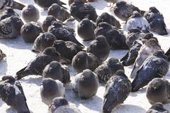 Group of pigeons Royalty Free Stock Images