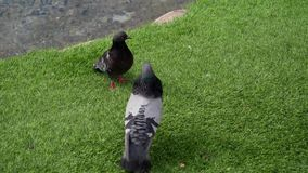 Group of pigeons walking and bobbing their heads and pecking at the ground looking for food. In Las Vegas stock video