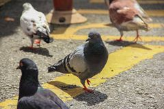 Pigeons on a street. A group of pigeons walking on a street stock photography